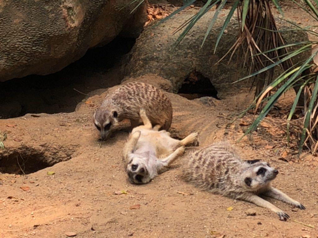 シンガポール動物園のミーアキャット