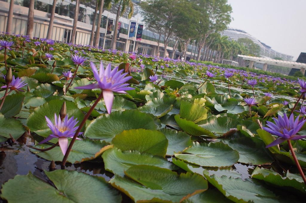 シンガポール一人旅で見た蓮の池