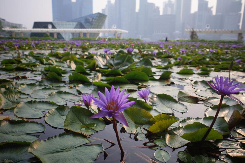 シンガポール一人旅で見た蓮の池の写真